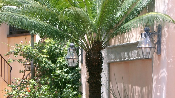 Large, old cycad at Walt Disney World near Pirates of the Caribbean entrance.