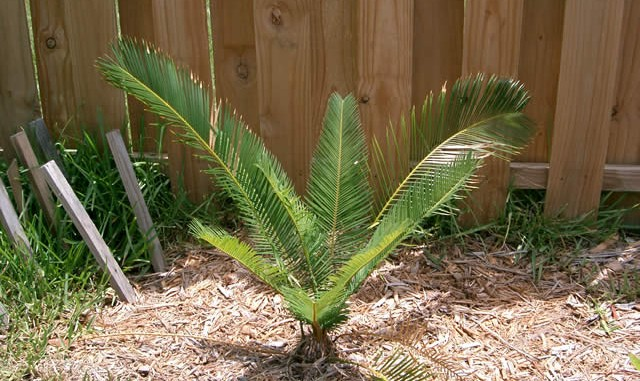 Cycas taitungensis as planted in 2004
