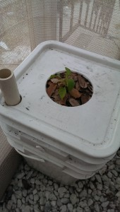 Carolina Reaper pepper plant potted