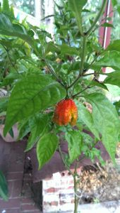Carolina Reaper pepper ripening