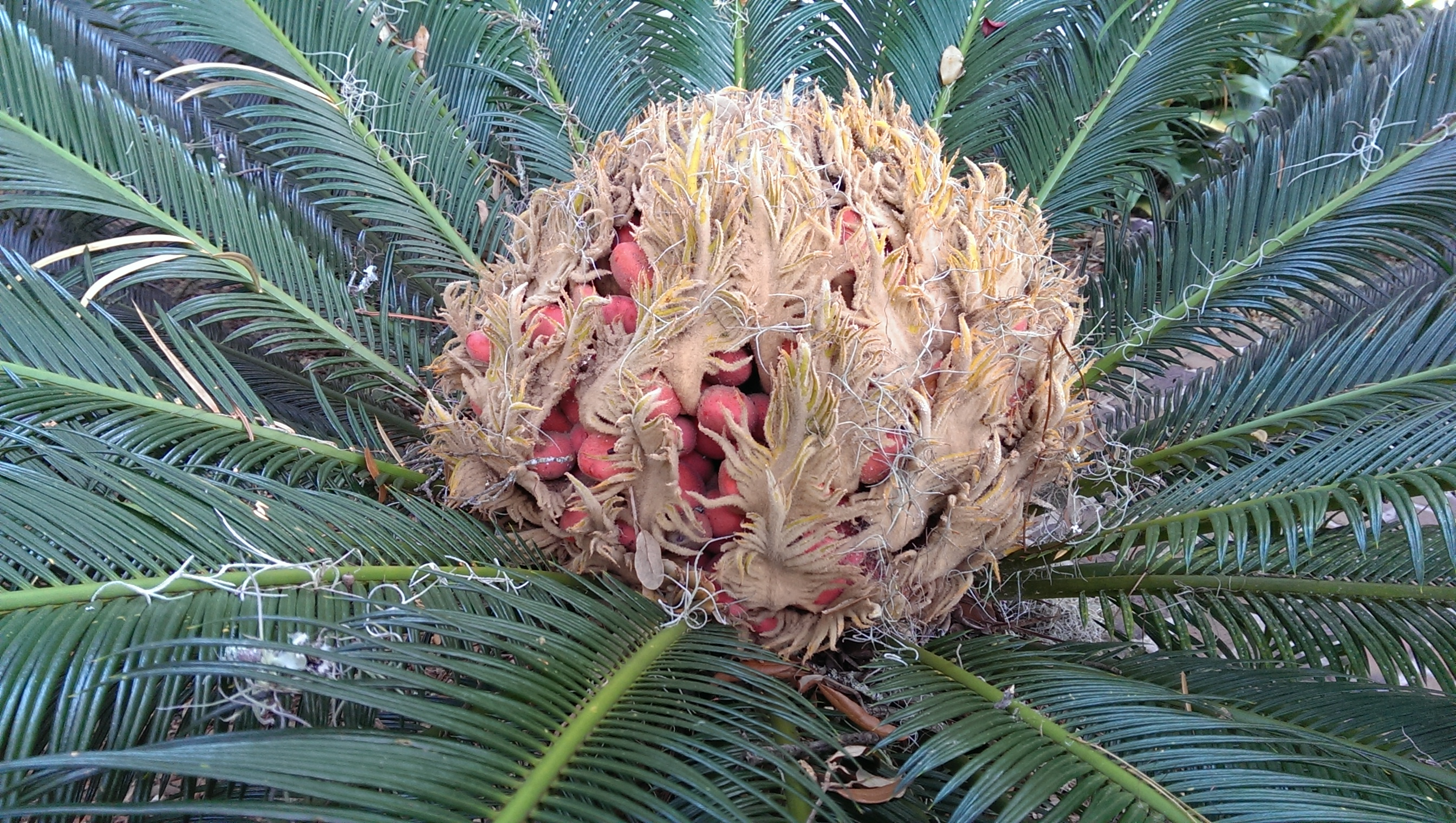 Cycas revoluta in full seed