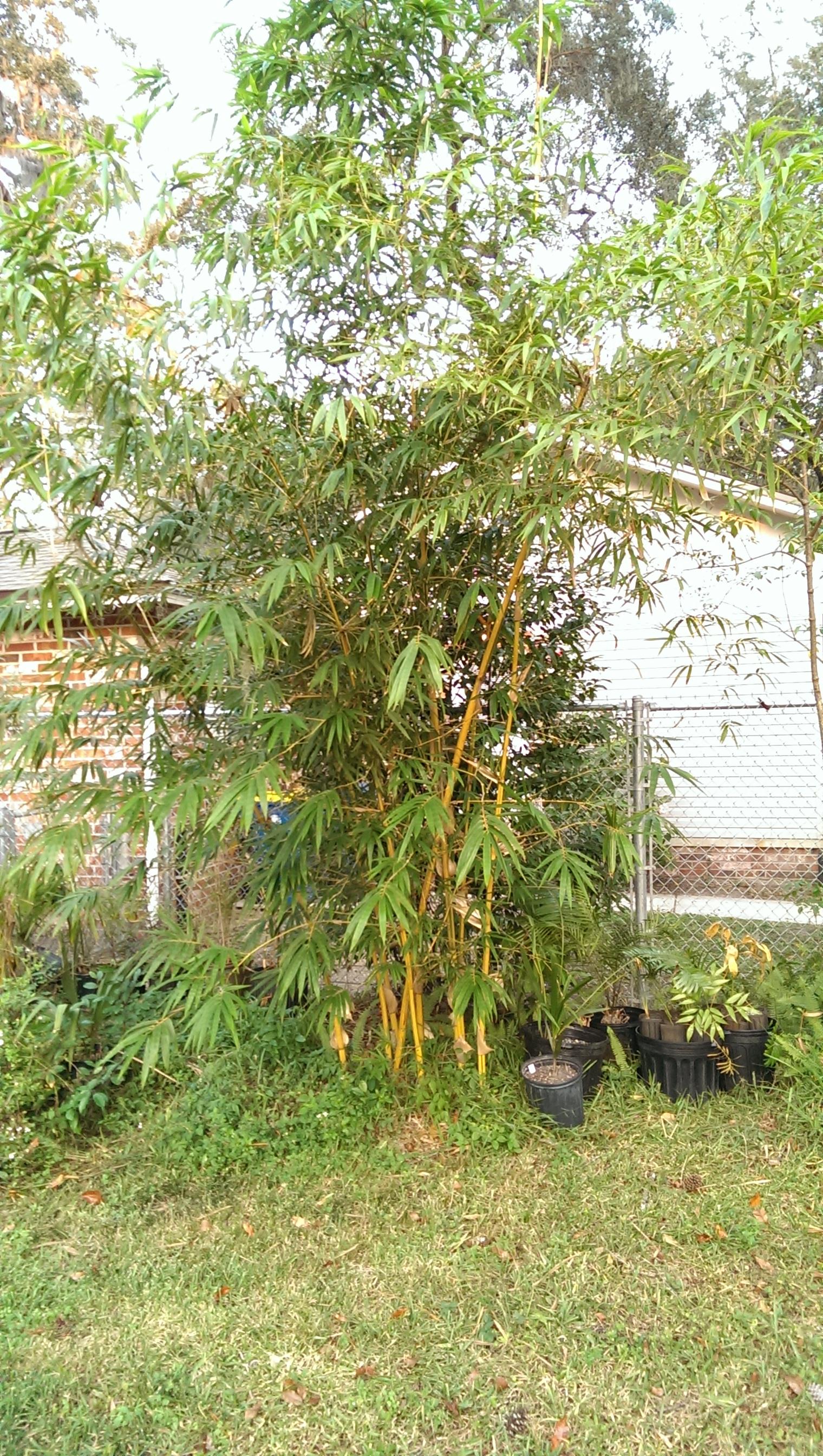 Bambusa pervariabilis 'Viridistriata'- Sunburst Bamboo growth in northeast Florida