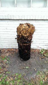 root cycad