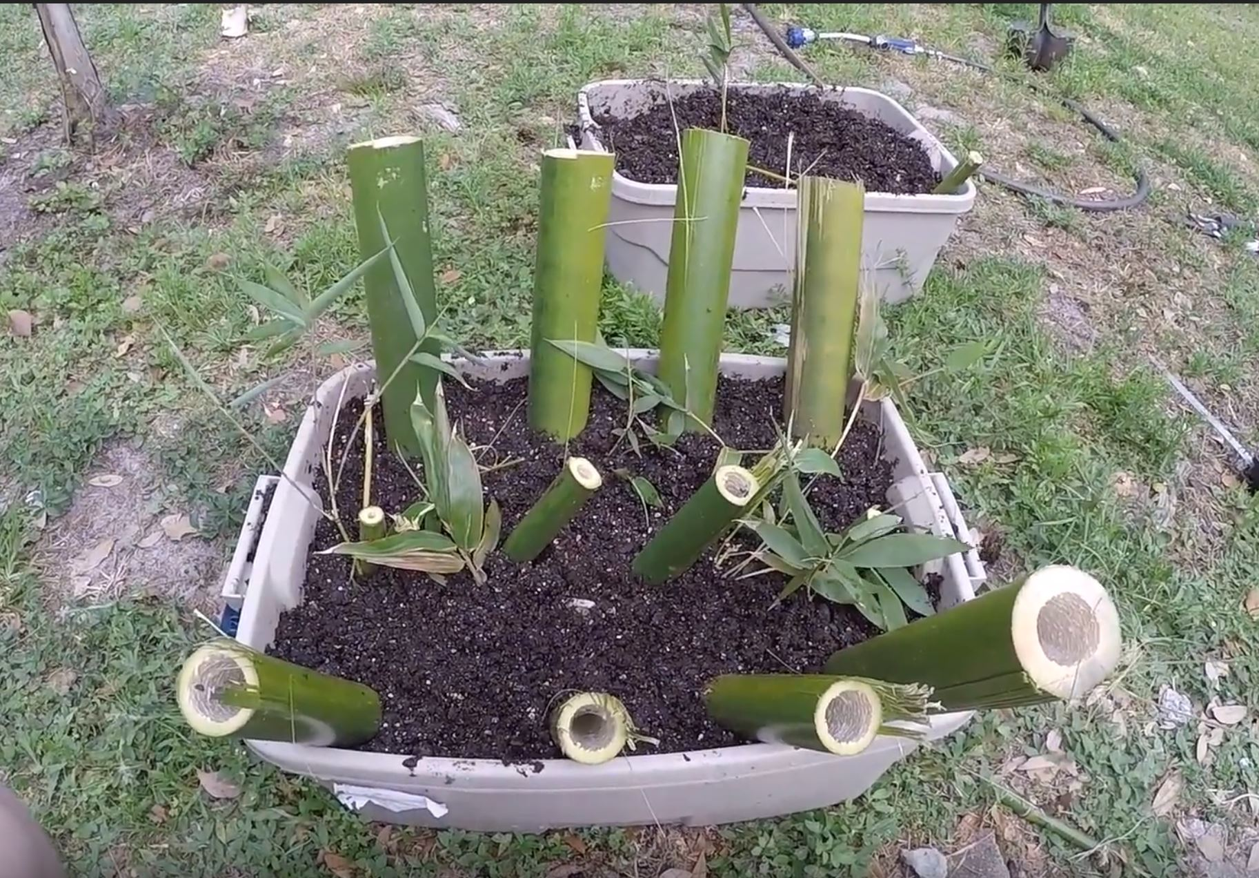 grow and propagate bamboo from culm cuttings