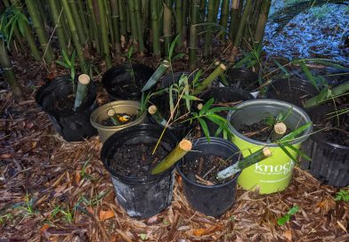 How to Propagate Bambusa Textilis Mutabilis from Culm Cuttings