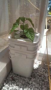Carolina Reaper pepper 8 weeks after planting
