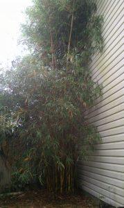 Bambusa pervariabilis 'Viridistriata'- Sunburst Bamboo