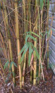 Bambusa pervariabilis 'Viridistriata'- Sunburst Bamboo up close