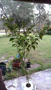 Carolina Reaper pepper plant