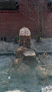 root a cycad caudex